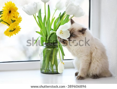 Color-point cat sitting with flower on a window in living room - stock photo
