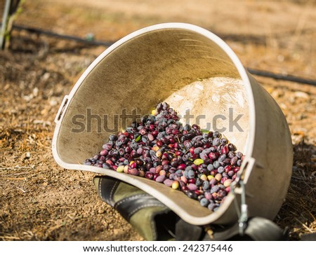 Color shot of a bucket full of multi-colored olives at a olive harvest in Paso Robles, California - stock photo