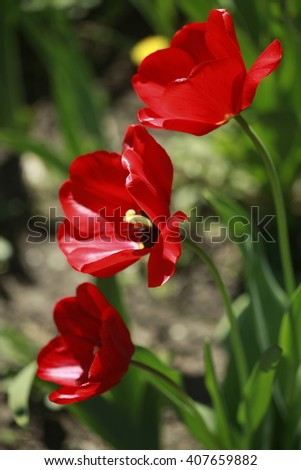 color tulips - stock photo