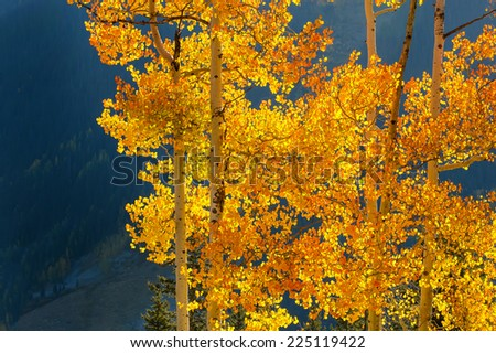 colorado aspens backlit in autumn - stock photo