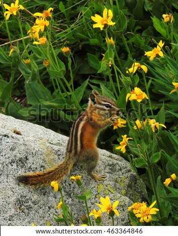 colorado   chipmunk snacking on yellow wildflowers on a boulder in indian peaks wilderness area, colorado
