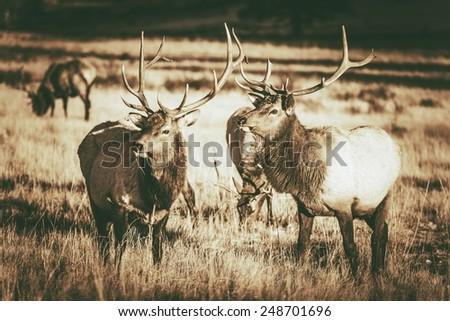 Colorado Elks Gang in Estes Park. Colorado Wildlife. Vintage Brown Color Grading. - stock photo