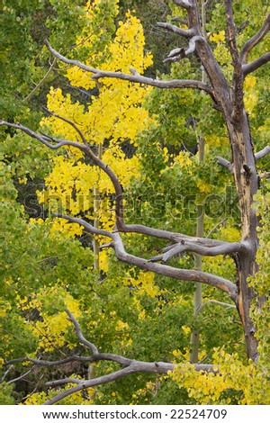 Colorado Fall colors near Victor, Colorado; Aspen trees changing color and a bare dead tree. - stock photo