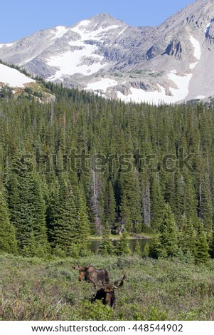 Colorado moose - bull grazing in meadow at Brainard Like, Indian Peaks Wilderness, near Rocky Mountain National Park