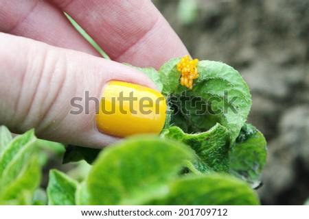 Colorado potato beetle (Leptinotarsa decemlineata) egg cluster - stock photo
