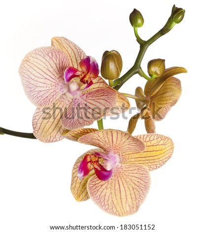 Colored cultivated orchid isolated on white background - ideal greeting card  - stock photo