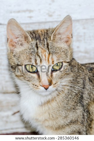 Colored domestic cat with green eyes, close up, portrait