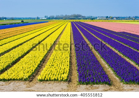 Colored fields with hyacinth flowers near the city of Lisse in The Netherlands.