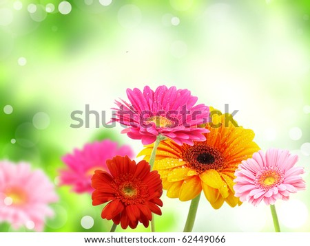 colored gerberas flowers - stock photo