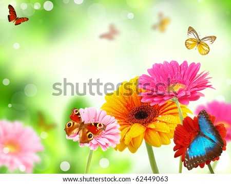 colored gerberas flowers with exotic butterflies - stock photo