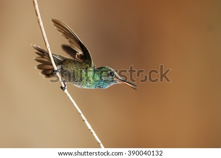 Colored hummingbird flying from a branch