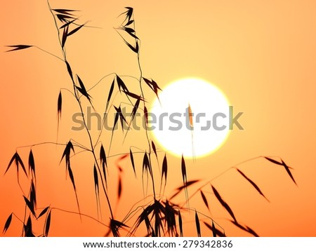 Colored image of oat twigs at sunrise - stock photo