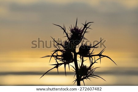 Colored image of wild thistle at dawn - stock photo