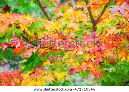 Colored maple leaves, red, yellow,and green foliage