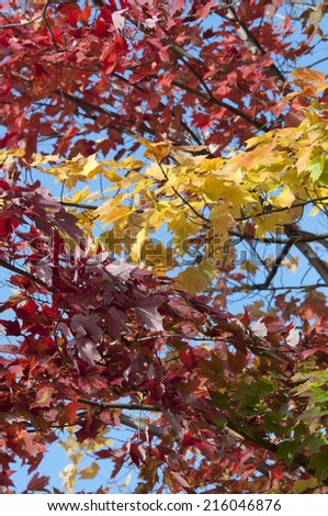 colored maple trees in Indian summer