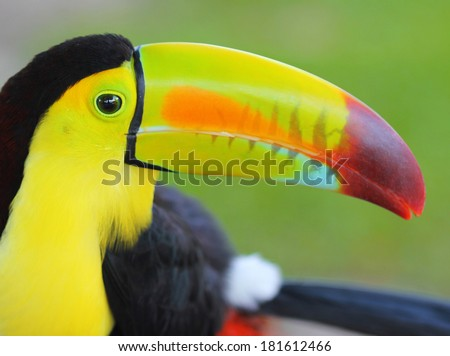 Colored Toucan. Keel Billed Toucan, from Central America. Macro - stock photo