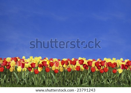 Colored tulips and blue sky