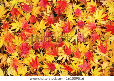 Colorful and wet fallen japanese maple leaves in autumn season - stock photo