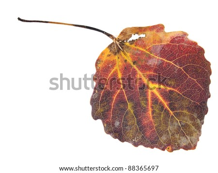 colorful aspen leaf on a white background - stock photo
