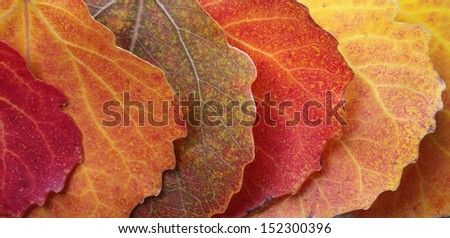 Colorful aspen leaves in row. Closeup, daylight. - stock photo