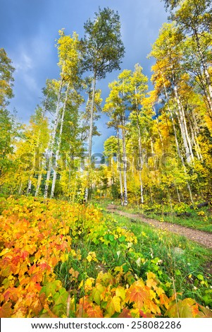 Colorful aspens and reddish-orange thimbleberry leaves pictured against a dark blue fall sky - stock photo