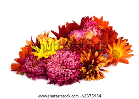Colorful asters on white background - stock photo