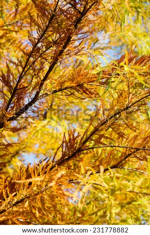 colorful autumn Bald Cypress tree (Taxodium distichum) - stock photo