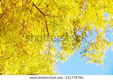 colorful autumn Bald Cyprus tree (Taxodium distichum) - stock photo