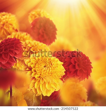 Colorful autumn chrysanthemums with flares, floral background - stock photo