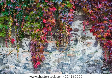 Colorful autumn creeper plants growing over a rough old brick wall - stock photo