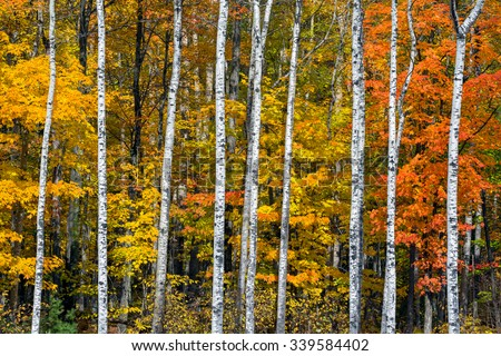 Colorful autumn foliage is punctuated by brilliant white birch tree trunks in the woods of northern Wisconsin. - stock photo