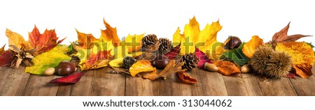 Colorful autumn leaves, chestnuts and cones on natural wooden table, studio isolated on white, panorama format