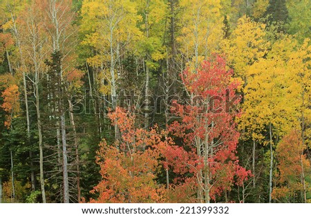Colorful autumn leaves in the Utah mountains, USA. - stock photo