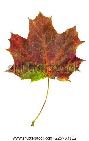 Colorful autumn maple leaf isolated on white background with clipping path - stock photo