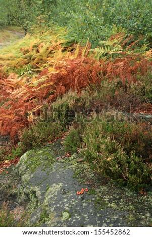 Colorful autumn mountains garden. Ferns and heather around the rocks on the mountain slopes. Autumn color palette. - stock photo