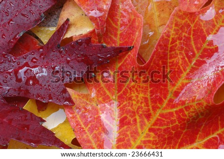 Colorful Autumn red, orange and yellow oak leaves wet after rain