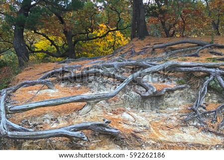 Colorful autumn trees stand guard behind  the exposed roots at Starved Rock State Park. The deteriorating sandstone can not hid the roots. They intertwine with each other in a supernatural dance.