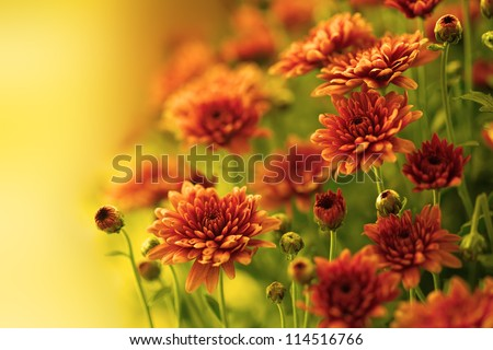 Colorful autumnal chrysanthemum - stock photo