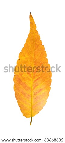 colorful autumnal leaf of Zelkova serrata isolated on white background - stock photo