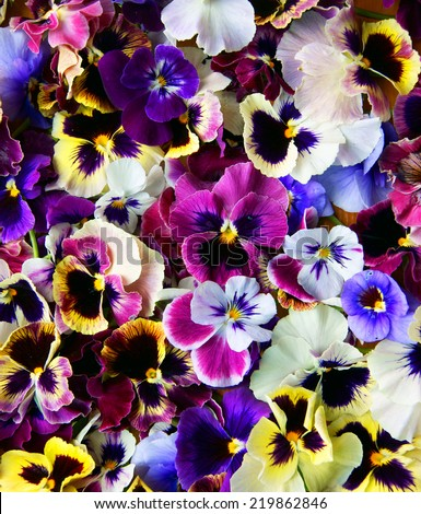 Colorful background from flower pansy.Background from flower - stock photo