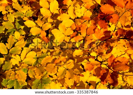 Colorful background of autumn leaves on the tree. - stock photo