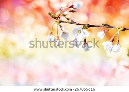 colorful  background of cherry flowers  - stock photo