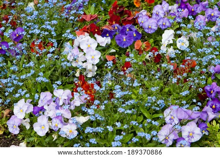 Colorful background with pancies and forget-me-not flowers - stock photo