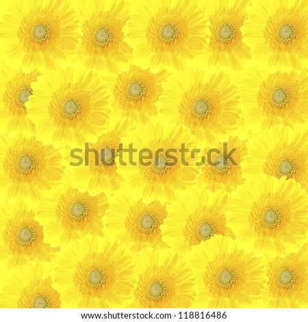 colorful beautiful background of yellow gerbera flowers