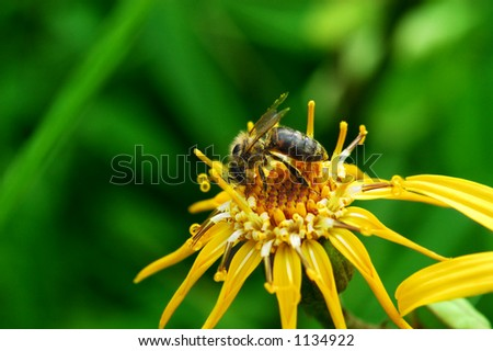 Colorful bee feeding on flower, collecting pollen. (Orthetrum cancellatum) - stock photo
