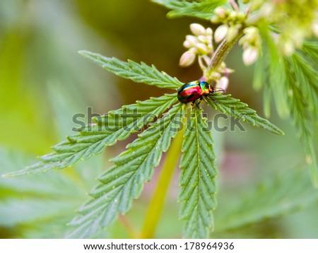 Colorful beetle sitting on a leaf of hemp - stock photo