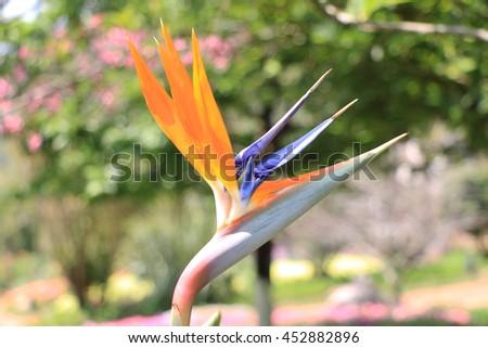 Colorful bird of paradise flower (Strelitzia reginae) in the outdoor garden - stock photo
