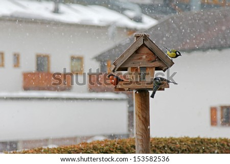 Colorful birds eating sunflower seeds during the snowstorm in Austria - stock photo
