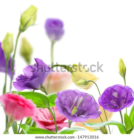 Colorful blooming eustoma on a white background.