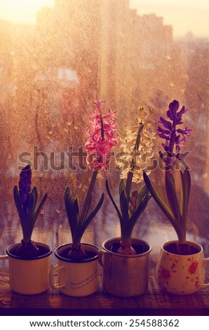 Colorful blooming hyacinth flower in cups on old wooden window sill in sunset lights - stock photo